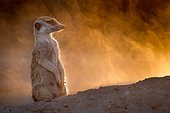 Meerkat looks up from digging - Kalahari South Africa ; The setting sun makes the dust kicked up by a digging Meerkat glow gold.