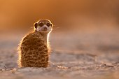 Meerkat sunning in morning - Kalahari South Africa ; This was the first Meerkat out of the burrow in the morning. It sat for a while in perfect light before the others got up.