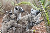 Ring-tailed Lemurs and young eating - Berenty Madagascar ; Mothers with 1-2 week old babies feeding on spiny forest tree