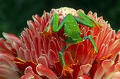 Red-eyed tree frog (Costa Rica)