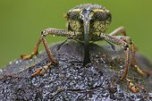 Weevil eating the pulp of the Theobroma cacao beans, in a reserve of Mashpi, Ecuador.