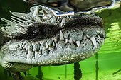 American Crocodile (Crocodylus acutus), Gardens of the Queen, Cuba