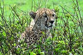 Tanzania. Male cheetah in the bush looking for a prey in the Serengeti national park.