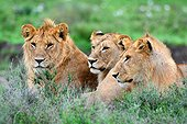 Tanzania. Serengeti national parc. Brotherhood of lions resting, two males and a female in between.
