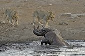 By going to drink it Black Rhino stumbled into a cavity and tipped into the water point. He tries to emerge but three lions that were nearby were attracted by the noise. They approach to enjoy the oportunity.