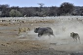 This Black Rhino has stumbled into a cavity and tipped into the water point. After many difficulties given the apic submerged banks, he managed to climb out of the water. Three lions took the opportunity to attack the rhino at the exit of the water.