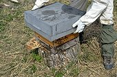 Retrieving forest Bees installed in Oak - France