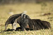 Giant anteater (Myrfmecophaga tridactyla), female with cub on its back, walking in farmland, Mato Grosso do Sul, Brazil