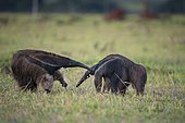 Giant anteater (Myrfmecophaga tridactyla), meeting of two solitary animals in grassland, defensive behaviour, Mato Grosso do Sul, Brazil