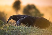 Giant anteater (Myrfmecophaga tridactyla), in front of sunset, walking through bush and grassland, Mato Grosso do Sul, Brazil