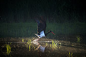 Black stork (Ciconia nigra), flying off from water pond, Bavaria, Germany