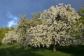 Cherry orchard in spring, Franconia, Bavaria, Germany