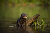 Giant otter (Pteronura brasiliensis), resting on a trunk in water. Pantanal, Mato Grosso, Brazil