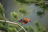 Crossbill (Loxia curvirostra), sitting on pine, Bavaria, Germany