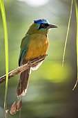 Blue crowned motmot (Momotus momota), perching on a branch, Mato Grosso do Sul, Brazil