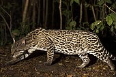 Ocelot (Leopardus pardalis), stalking at the edge of riverine forest, Mato Grosso do Sul, Brazil