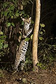 Ocelot (Leopardus pardalis), rising up at tree trunk, Mato Grosso do Sul, Brazil