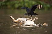 Black vulture (Coragyps atratus), using dead caiman as float, Pantanal, Mato Grosso, Brazil
