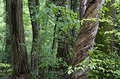 Deciduous forest, relict forest in the Steigerwald, spring, Franconia, Bavaria, Germany