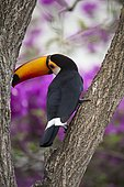 Toco toucan (Ramphastos toco), perching on trunk of tree, Bougainvillia in the background, Mato Grosso do Sul, Brazil