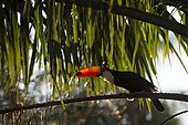 Toco toucan (Ramphastos toco), sitting in palm tree, Mato Grosso do Sul, Brazil