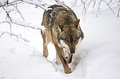 Wolf (Lupus canis), moving in snow, National Park Bayerischer Wald, Bavaria, Germany