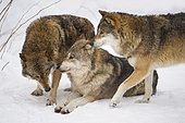 Pack of wolves (Lupus canis) in snow, National Park Bayerischer Wald, Bavaria, Germany