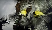 Great tit (Parus major) mirror fight