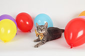 Kitten lying next to inflatable balloons of all colors on white background