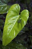 Fleischmann's Glass Frog on Philodendron's leaf in Guatemala