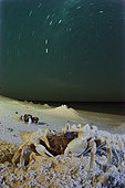 Horned Ghost crabs, Horned-eyed Ghost Crab, Ghost Crabs and star trails,Ocypode ceratophthalma,New Caledonia