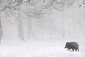 Eurasian wild boar (Sus scrofa) in the snow in the forest, Ardennes, Belgium