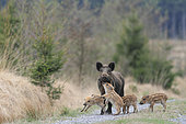 Eurasian wild boar (Sus scrofa) young boars playing with their mother on a forest road, Ardennes, Belgium