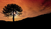 Araucaria tree. Araucaria is a typical tree of the region of Araucania where the Mapuche people gathering pine nuts (fruit of the araucaria). They are found in large numbers in the mountainous area of south-central Chile.