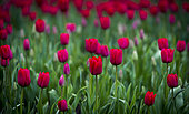 Tulip flowers plantation in the vicinity of the city of Osorno, Lake district Region, Chile.