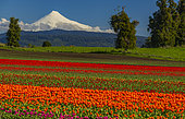 The Osorno volcano is located in the lakes region. Photographs taken from the fields of tulips in the way Puyehue.