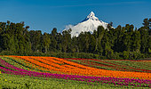 The Puntiagudo volcano is located in the lakes region. Photographs taken from the fields of tulips in the way Puyehue.