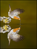 European Robin (Erithacus rubecula) drinking and reflection, Spain