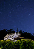 Western Spadefoot (Pelobates cultripes) under the stars rotated, Spain