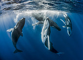 Group of Humpback whales (Megaptera novaeangliae), courtship display, Tahiti, French Polynesia.