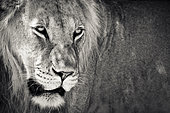 Portrait of young Lion (Panthera leo) male, Kgalagadi, South Africa