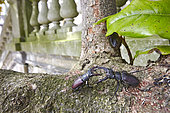 Stag beetles (Lucanus cervus) fighting on a branch in front of a balustrade, France