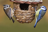Crested Tit (Lophophanes cristatus) and Blue Tit (Cyanistes caeruleus) on birdhouse rope, Le Havre, Normandy, France