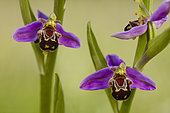 Bee Orchid (Ophrys apifera) in bloom, France