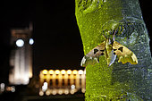 Lime Hawk-Moth (Mimas tiliae) on a trunk in city at night, France