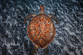 Green turtle (Chelonia mydas) swimming over the bottom, Indian Ocean, Reunion