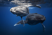 Humpback whales (Megaptera novaeangliae) and young below the surface, Indian Ocean, Reunion