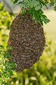 Swarm of bees, bees gather in clusters around the queen, Canton of Geneva, Switzerland