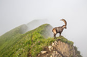 Male alpine ibex (capra ibex) in the fog, Chablais mountains, Alps, France