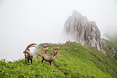 Group of alpine ibexes (Capra ibex) grouped for the summer, in the fog, Chablais mountains, Alps, France